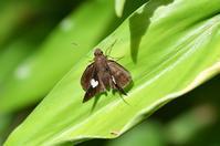 クロセセリ - 続・蝶と自然の物語