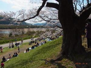 背割りの桜 -
