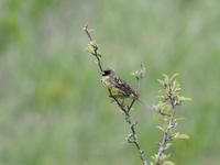 八島湿原にいたアオジ - コーヒー党の野鳥と自然パート3