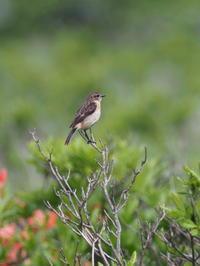 霧ヶ峰のノビタキ♂と♀ - コーヒー党の野鳥と自然パート3