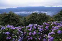 秩父美の山公園のアジサイと雲海その1 - 日本あちこち撮り歩記