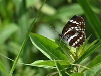 高原の夏の蝶たち - 不思議の森の迷い人