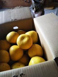 柑橘愛好会、晩柑懲りずに六度 - ちゃたろうとゆきまま日記