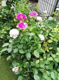 シェエラザード、リベルラの二番花 - 小庭の園芸日記