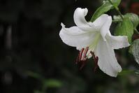 カサブランカが咲きだした - 四季折々
