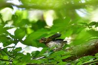 クロツグミ給餌 - 新 鳥さんと遊ぼう