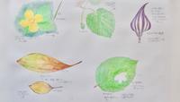 #ネイチャー・スケッチ #Naturejournal #sketch #Watercolo #水彩画 #感察 #野鳥 #植物 - スケッチ感察ノート (Nature journal)
