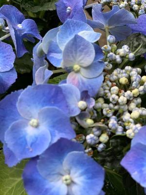 紫陽花とエスカルゴ - ダイアリー