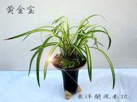中国蘭「黄金宝」No.2038 - 東洋蘭風来記奥部屋