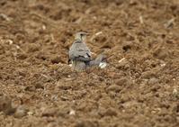 宮古島ーツバメチドリ(3)他 - 写真で綴る野鳥ごよみ
