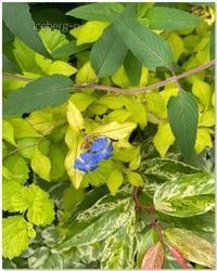 セラトシグマ・デザートスカイ - 小さな庭 2