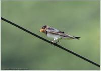 ツバメ幼鳥電線で一息 - 野鳥の素顔 <野鳥と日々の出来事>