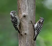 コゲラ餌渡し - 打出頑爺の鳥探し