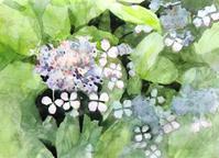 額紫陽花 - ryuuの手習い