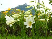 『百合(ユリ)と珊瑚刺桐(サンゴシトウ)と亜米利加梯梧(アメリカデイゴ)など・・・・・』 - 自然風の自然風だより