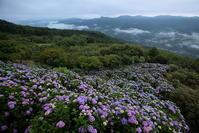 秩父美の山公園のアジサイと雲海その2 - 日本あちこち撮り歩記