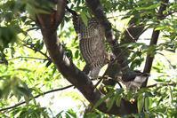 欅並木の親子<雀鷹> - 風のむろさん 自然の詩