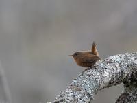 お山の鳥さんたち(ミソサザイ/アカハラ/ゴジュウカラ) - トドの野鳥日記