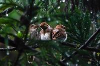 巣立ち8日目の三光鳥(サンコウチョウ) - 野鳥などの撮影記録