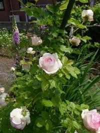 つるバラも満開 / Vine roses are in full bloom. - 花と天然石ハンドメイドジュエリー