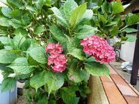 鮮やかな<紫陽花>~気になる感染拡大 - 庭を眺めて…コーヒータイム