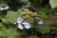 紫陽花も終わり - トコトコブログ