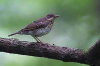 アカハラの幼鳥 - 上州自然散策3