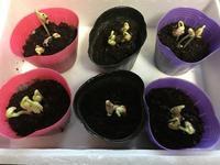 インゲンの芽生えといちごの実り - ワクワク♪ハマっ子野菜作り♪