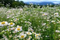 ハルジオンが満開 - ~葡萄と田舎時間~ 西田葡萄園のブログ