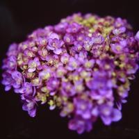 「雨に打たれながら紫陽花は言う」 - 光と彩に、あいに。