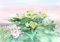 紫陽花 - ryuuの手習い