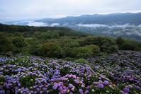 秩父美の山公園のアジサイと雲海その3 - 日本あちこち撮り歩記