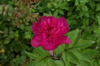 自然栽培久しぶりの晴れ25℃庭も畑も花 - 自然栽培 釧路日記