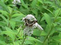 サカハチチョウ初見 - 秩父の蝶