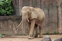 帰ってきたアフリカゾウ「アコ」と「砥夢」のおやつTIME(多摩動物公園) - 続々・動物園ありマス。