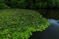 満開・睡蓮の溜池(忍辱山町) - 花景色-K.W.C. PhotoBlog