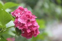 庭の紫陽花もそろそろ梅雨明け - 風の彩りー3