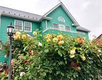 暴風雨のショック(T . T)と嬉しい事♡ - 薪割りマコのバラの庭
