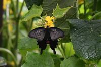 クロアゲハ・・・自宅のきゅうりの花に - 続・蝶と自然の物語