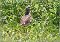 ケリの幼鳥 - 野鳥の素顔 <野鳥と日々の出来事>