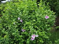 夏の花(7) ムクゲ 紫 (2020/7/6撮影) - toshiさんのお気楽ブログ
