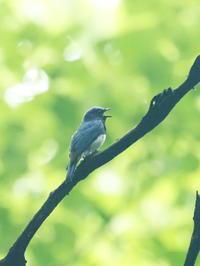 営巣中のオオルリがいました - コーヒー党の野鳥と自然パート3
