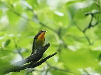 野鳥の森のキビタキ - コーヒー党の野鳥と自然パート3
