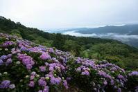 秩父美の山公園のアジサイと雲海その4 - 日本あちこち撮り歩記