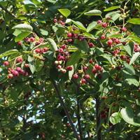 ジューンベリーの収穫 - sola og planta ハーバリストの作業小屋
