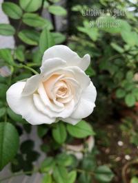 幻のカミキリムシ - Gardener*s Diary