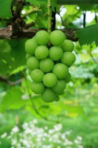 硬くて痛いぶどう - ~葡萄と田舎時間~ 西田葡萄園のブログ