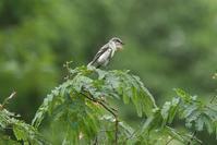 2020-127 今季初撮りサンショウクイ - 近隣の野鳥を探して2