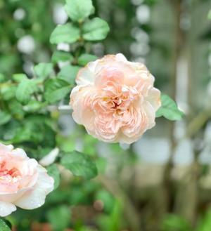 滴を纏ったバラ達?と雨の中の薬剤散布( ;  ; ) - 薪割りマコのバラの庭