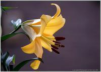 庭の花-25オリエンタルリリーコンカドール-2 - 野鳥の素顔 <野鳥と日々の出来事>
